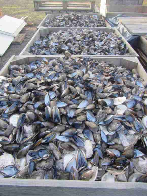 Recycled Shells Fisheries Queenscliff e1493913328564